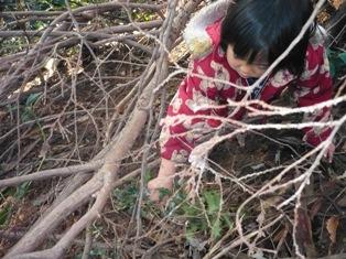 散策の森で、ひいらぎとり。3歳児のひばり組。
