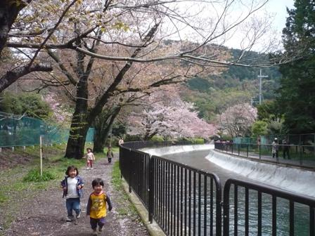 桜舞い散る、山科の疎水