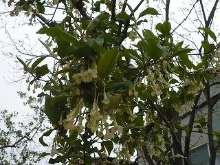ぐみの木のお花