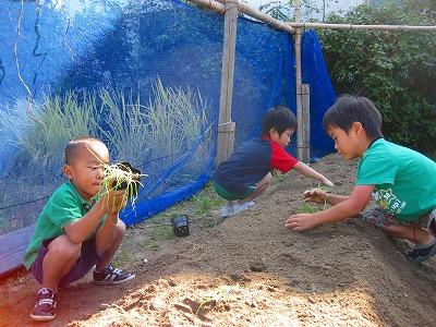 タマネギの苗を植える園児達
