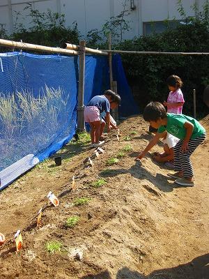 タマネギの苗を植え終えたのを観ている園児達