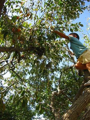 柿の木に上って柿を採る園児