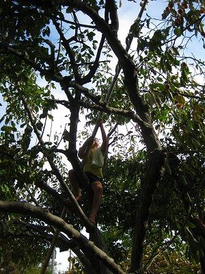 木に登って竹で柿を採る園児